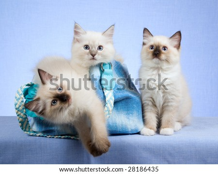 3 Cute Ragdoll kittens in blue handbag purse on blue background - stock photo