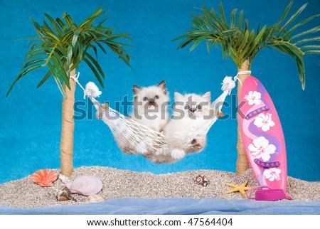 2 Cute Ragdoll kittens in hammock with surf board, on beach scene - stock photo
