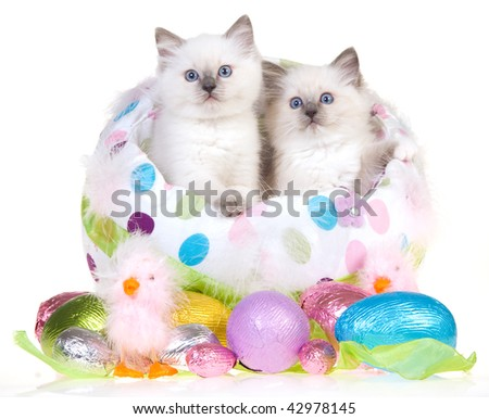 2 Cute Ragdoll kittens in large Easter egg with smaller eggs, on white background - stock photo