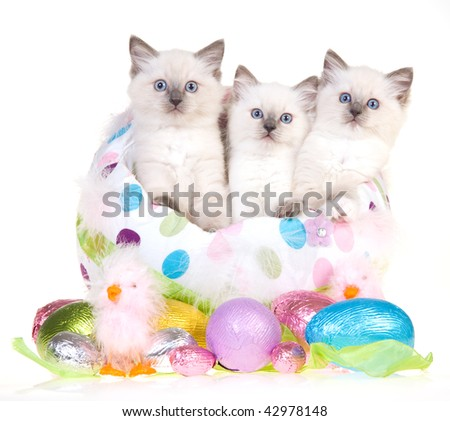 3 Cute Ragdoll kittens in large Easter egg with smaller eggs, on white background - stock photo