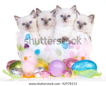 4 Cute Ragdoll kittens in large Easter egg with smaller eggs, on white background - stock photo