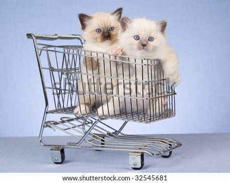 2 cute Ragdoll kittens in mini shopping cart, on blue background - stock photo