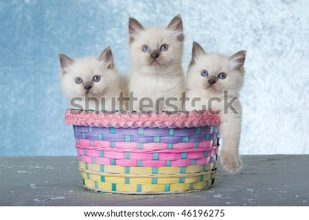 3 cute Ragdoll kittens in pastel Easter basket on blue background - stock photo