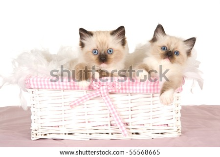 2 Cute Ragdoll kittens in pink and white basket - stock photo