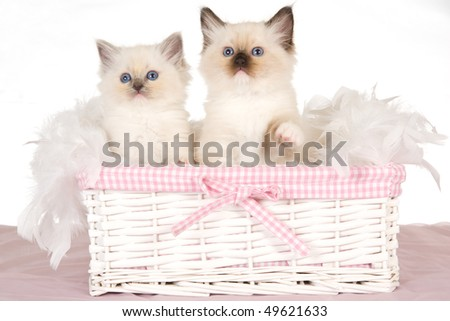 2 Cute Ragdoll kittens in pink and white basket, on white background - stock photo