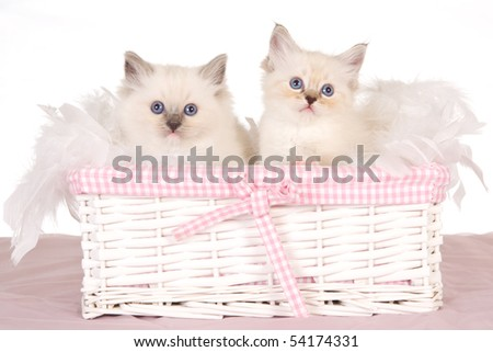 2 Cute Ragdoll kittens in pink gift basket - stock photo