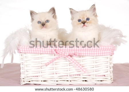 2 Cute Ragdoll kittens in pink white basket on white background - stock photo