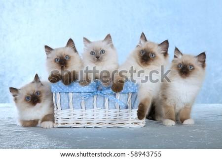 5 Cute Ragdoll kittens in white basket on blue background - stock photo