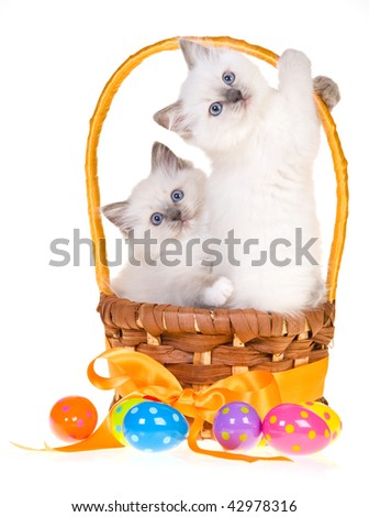 2 Cute Ragdoll kittens inside Easter basket with eggs, on white background