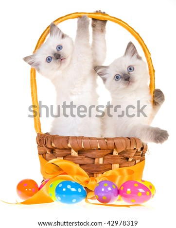 2 Cute Ragdoll kittens inside Easter basket with eggs, on white background - stock photo