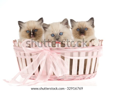 3 Cute Ragdoll kittens inside pink gift basket, on white background - stock photo