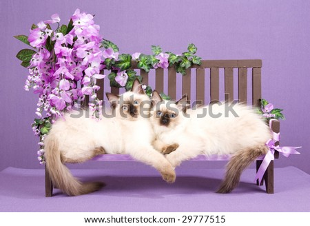 2 cute Ragdoll kittens lying on miniature wooden bench with purple wisteria flowers - stock photo