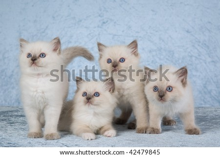 4 Cute Ragdoll kittens on silver blue background fabric