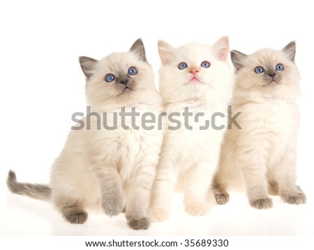 3 Cute Ragdoll kittens on white background - stock photo