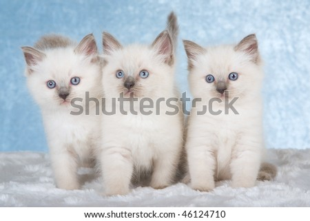 3 Cute Ragdoll kittens on white fake fur on blue background - stock photo