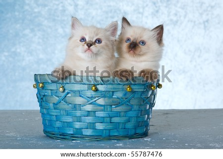 2 Cute Ragdoll kittens sitting in blue basket on blue background - stock photo