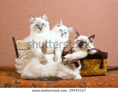 4 cute Ragdoll kittens sitting in brown baskets on brown background
