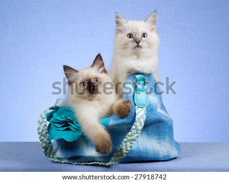 2 Cute Ragdoll kittens sitting inside blue handbag on blue background - stock photo