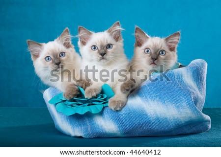 3 Cute Ragdoll kittens sitting inside blue handbag on blue background - stock photo