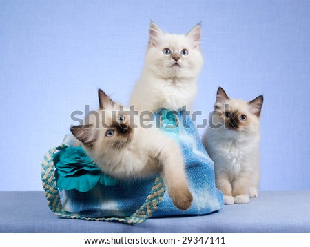 3 cute Ragdoll kittens sitting inside blue handbag purse - stock photo