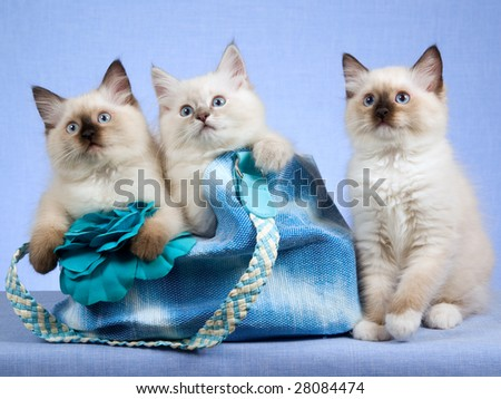 3 Cute Ragdoll kittens sitting inside blue handbag purse on blue background - stock photo