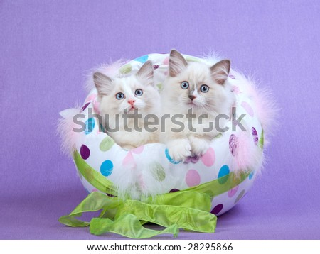 2 Cute Ragdoll kittens sitting inside colorful Easter egg on lilac purple background - stock photo
