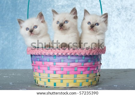 3 Cute Ragdoll kittens sitting inside pastel basket, on blue background - stock photo
