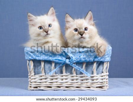 2 Cute Ragdoll kittens sitting inside white woven basket on blue background - stock photo