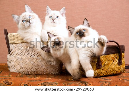 4 cute Ragdoll kittens sitting inside woven brown baskets on brown background - stock photo