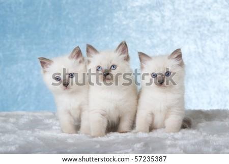 3 Cute Ragdoll kittens sitting on fake fur on blue background - stock photo