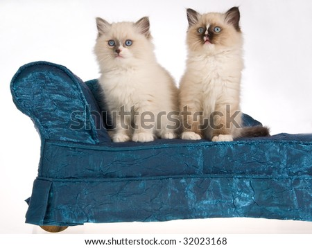 2 Cute Ragdoll kittens sitting on miniature blue chaise sofa couch, on white background - stock photo