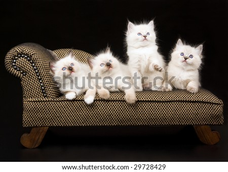 4 cute Ragdoll kittens sitting on miniature brown couch chaise sofa on black background - stock photo