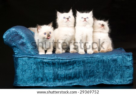 4 cute Ragdoll kittens sitting on miniature couch sofa chaise on black background - stock photo