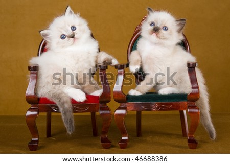 2 Cute Ragdoll kittens sitting on Victorian chairs, on gold background - stock photo