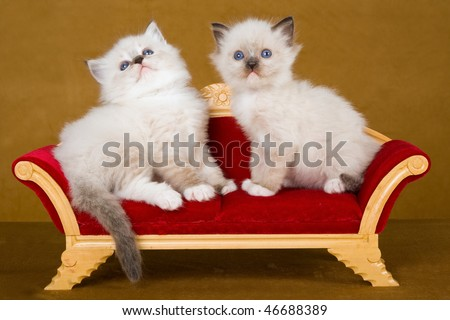 2 Cute Ragdoll kittens sitting on Victorian chaise sofa couch, on gold background - stock photo