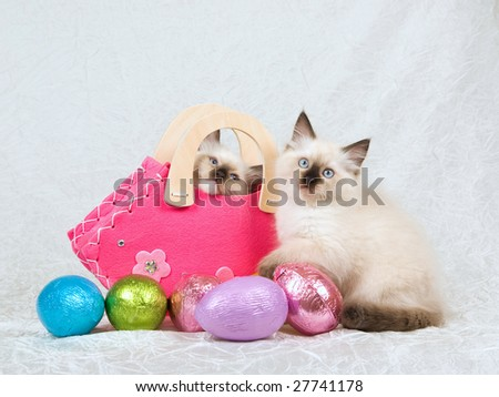 2 Cute Ragdoll kittens with cerise pink handbag purse and shiny colorful Easter eggs in foreground on white cream taffeta