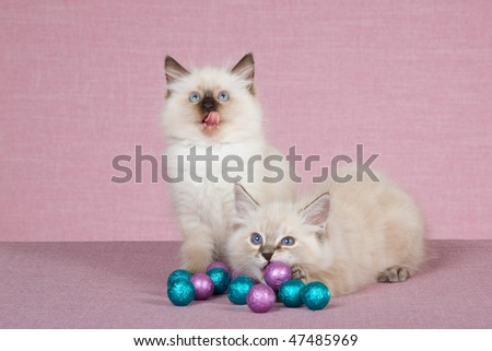 2 Cute Ragdoll kittens with colorful chocolate balls - stock photo