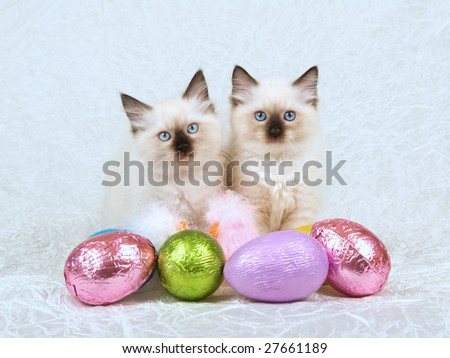 2 Cute Ragdoll kittens with shiny colorful Easter eggs on cream white taffeta background - stock photo