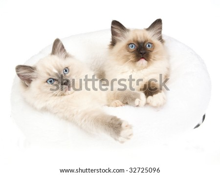 2 Cute Ragdollkittens lying in white fur bed, on white background