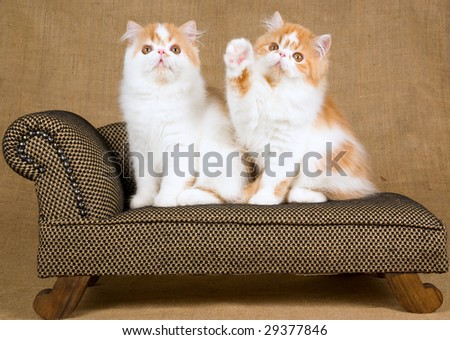 2 cute red and white Persian kittens on miniature brown chaise couch sofa on burlap hessian background - stock photo