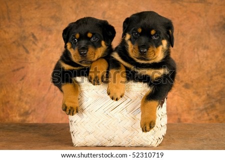2 Cute Rottweiler puppies in beige woven basket, on brown mottled background fabric - stock photo