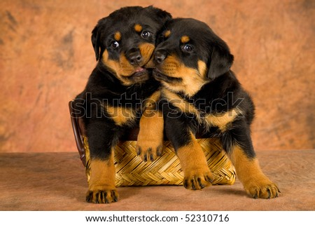 2 Cute Rottweiler puppies in brown woven basket, on brown mottled background fabric - stock photo