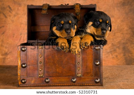 2 Cute Rottweiler puppies in wooden treasure chest, on brown mottled background fabric - stock photo