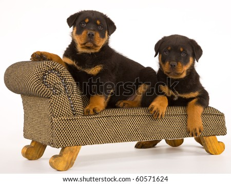 2 Cute Rottweiler puppies on mini chaise couch - stock photo