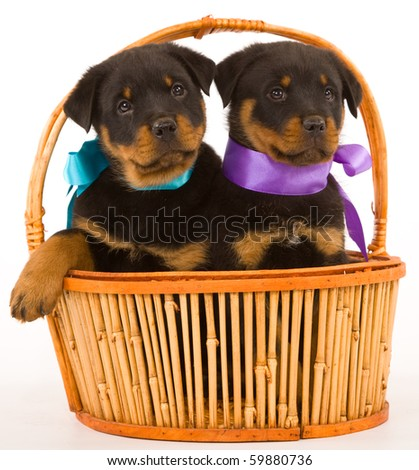 2 Cute Rottweiler puppies sitting inside brown basket on white background - stock photo