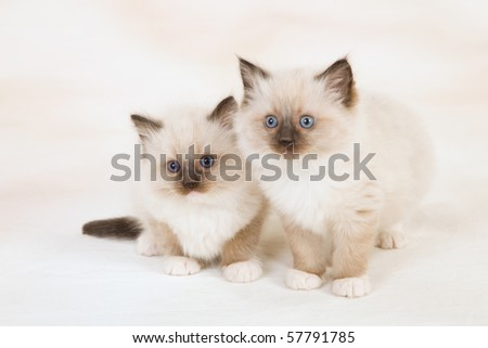 2 Cute Sealpoint Ragdoll kittens on beige mottled background fabric - stock photo