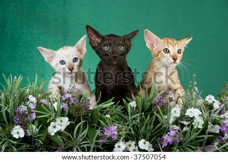 3 cute Siamese and Oriental kittens in field of lavender, on green background
