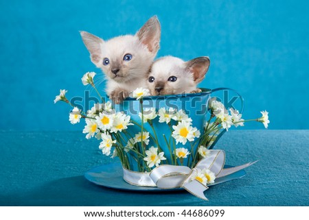 2 Cute Siamese kittens sitting in large cup decorated with flowers, on blue background fabric - stock photo