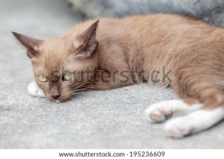 Cute Thai brown cat white sock yellow eyes cat sleep on walk way looking something - stock photo