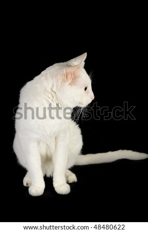 cute white domestic cat  isolated
